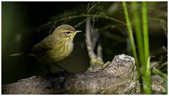 palm warbler (Christian Hunold) Tags: palmwarbler woodwarbler warbler songbird bird palmenwaldsnger wildrice johnheinznwr philadelphia christianhunold