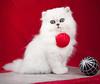 Les Persans de Fannie (Les Persans De Fannie) Tags: cats pets cat rouge persian chats kitten chat chinchilla animaux blanc fannie chaton chatons persan