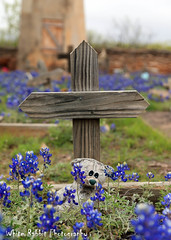 Bluebonnet - 21.5 ( St Marys Catholic Cemetery Fredericksburg Texas) (Glenn Stuart ( White Rabbit Photography )) Tags: canon texas bluebonnet wildflowers hillcountry bluebonnets texaswildflowers fredericksburgtexas stmaryscatholicchurchcemetery texasbluebonnets canon5dmarkii whiterabbitphotography texasbluebonnets2013