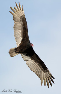 I Despise You! (Turkey Vulture)