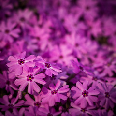 Purple stuff (hoovdaddy) Tags: flock 11 phlox 1x1 purpleflowers springblooms 2013 canon7d 50mm50mm18 april2013 brycehoover purpleflockgroundcover purplepholx 3clixpix