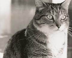 Pet Portrait 1 (alyssa_joy) Tags: portrait bw fall analog cat river minolta massachusetts hp5 ilford x700