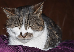 "Half Asleep- ""Poppy"" (Nikon D7100) (markdbaynham) Tags: pet digital cat nikon feline poppy cropped format asleep dslr sensor dx apsc d7100 depotstevenage digitaldepotcouk"