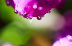 *** (Norbert Králik) Tags: flower macro drops dof bokeh april canonef100mmf28macrousm canoneos40d