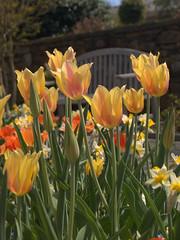 Tulip (AlexC) Tags: flowers flower spring tulip botanicalgarden lewisginter e500