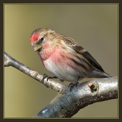 Redpoll (m) (Full Moon Images) Tags: new male bird nature farm wildlife bcn reserve national trust fen cambridgeshire decoy holme redpoll nnr greatfenproject