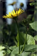NG12 (kairemwatt) Tags: flowers spring pflanzen blumen frhling naturgarten springfloweringplant