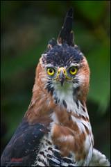 Ornate Hawk Eagle (Chris Jimenez Nature Photo) Tags: life chris wild costa nature birds birding rica tours eagles raptors birdsofprey jimenez ornatehawkeagle spizaetusornatus birdings