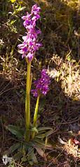 Giglio caprino - 10027 (Roberto Miliani / Ginepro) Tags: orchid trekking island elba hiking elbe isola calamita camminare capoliveri