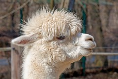 white Alpaca (Woodpeckar) Tags: alpaca nature animals germany munich münchen bayern zoo thalkirchen tierparkhellabrunn zoologicalgarden eos5d woodpeckar 5dii