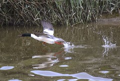 Goosander (male) (Taken-By-Me) Tags: reflection bird water river fly duck beak feather lancashire takenbyme mallard wyre goosander