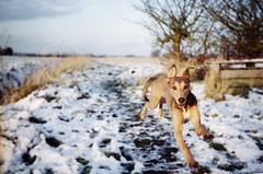 Run like a Dog (Trojan_Llama) Tags: dog snow film 50mm pentax action running explore 35mmfilm 200 analogue manualfocus fens lurcher mesuper scannednegative poundland agfaphoto vistaplus