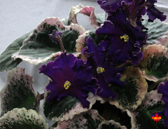 Exhibition of African Violets & other Gesneriads - Royal Rage C20130420 179 (fotoproze) Tags: flowers flores fleurs blumen fiori  blommor bungabunga bloemen blomster kwiaty hoa  flors africanviolets loreak blm iek saintpaulia blodau   flori  gesneriads kvtiny   virgok kvety kukat cvijee  cvetje    blthanna
