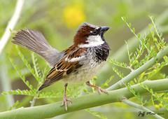 House Sparrow (Jmawnster) Tags: house english sparrow