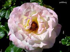 Pink rose (pat.bluey) Tags: flowers light macro australia newsouthwales 1001nights mygarden palepink coth supershot fantasticnature alittlebeauty coth5 1001nightsmagiccity hennysgardens