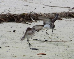 2013 05 02_3070_fighting at the beach! (nbc_2011) Tags: bird nature florida calidris sandpiper animalplanet sandpipers sanderling planetearth shorebird calidrisalba semipalmatedsandpiper calidrispusilla northwestflorida