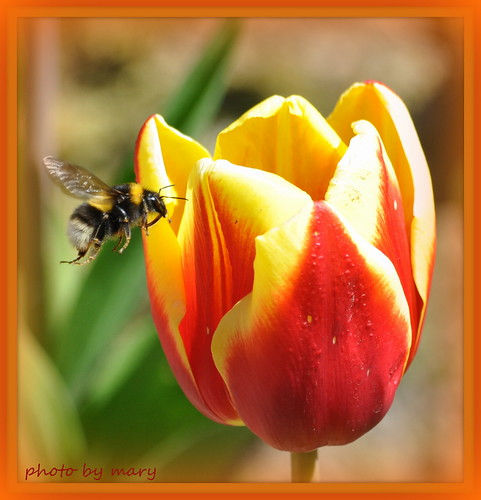 Tulip and Bee