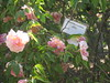 IMG_0582 (ceztom) Tags: city trip roses plant cemetery rose by garden square with native cemetary hamilton visit betty historic rivers april sacramento 20 davis speech 19 rosegarden cezanne perennials opengardens kathe cez 1000broadway april20 2013 930–200