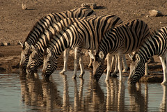 Zebra Bar (Samuel Roth) Tags: africa nature animals wildlife zebra namibia etosha etoshanationalpark