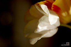 Tulpe  / tulip (8) (Ellenore56) Tags: flowers light sunlight inspiration flower color colour detail reflection floral garden botanical licht photo flora focus foto emotion blossom magic sunday perspective petal explore tulip bloom vista imagination outlook moment blume blte magical effect farbe reflexion garten sonntag flowerpower perspektive tulipa reflektion effekt tulpe zauberhaft glamorous dud augenblick fokus florescence liliaceae botanik enchanting lale bltenblatt faszination sonnenlicht explored bltenzauber pflanzenwelt flowerleaf dulband liliengewchs sonya350 ellenore56 05052013 tlbed