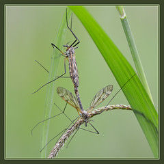 Crane Fly (Full Moon Images) Tags: wood macro nature insect fly crane wildlife reserve national monks cambridgeshire nnr