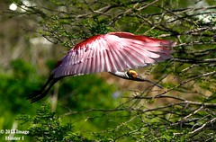 Roseate Spoonbill (Image Hunter 1) Tags: pink trees light shadow red orange tree green nature leaves birds flying leaf wings louisiana branch bokeh branches flight feathers bayou breeding swamp greenery marsh sunlit wingspan plumage roseatespoonbill wingspread canoneos7d