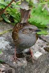 Hedge Sparrow Close Up (MNA24) Tags: up nikon close dunnock sparrow hedge d7100 55300mm