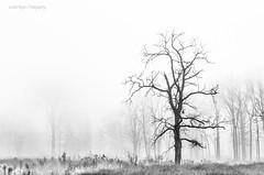 but the pain lingers on (jr) Tags: morning winter fog nikon arboretum morton 2012 d7000