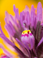 Desert wildflowers-83.jpg (paulgillphoto) Tags: