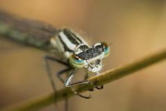 Female White-legged Damselfly - Platycnemis pennipes (mattd85) Tags: macro macroeyes macroinsect whiteleggeddamselfly macrodamselfly macrobug