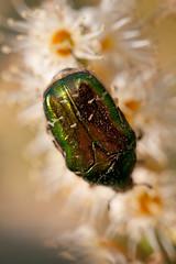 Insektenwelt (Photocreatief.de) Tags: flower natur blumen makro farbig bunt insekten fliege maikfer farbfoto