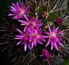 Neoporteria wagenknechtii cactus (nolehace) Tags: sanfrancisco summer cactus flower succulent bloom 913 wagenknechtii neoporteria nolehace fz35