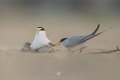 Family Time (santosh_shanmuga) Tags: least tern baby chick feed feeding food parents mom dad family time shorebird bird birding aves wild wildlife nature animal outdoor outdoors nikon d3s 500mm nj new jersey jerseyshore newjersey beach sand