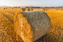 Field of Hay Bales (Anthony White) Tags: summer august wheat cerealplant cereal nopeople