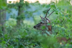 daguet, cerf laphe (cervus elaphus) (G.NioncelPhotographie) Tags: daguet cerf laphe cervus elaphus animaux mammifre nature
