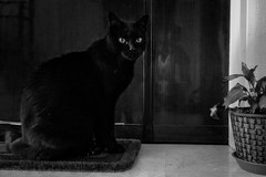 black cat (lorenzog.) Tags: cat 2016 bw blackcat cameraphone huaweip8lite pet rosmarino ilobsterit gatto gattonero cateyes