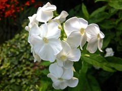 8029 Geraniums (Andy panomaniacanonymous) Tags: 20160813 fff flower geranium ggg horsell white www