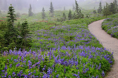 Foggy Wildflowers on Mt. Rainier, (3 of 3) (louelke - gone a lot) Tags: mtrainier mtrainiernationalpark washingtonstate cascademountains volcano wildflowers paradise trails glaciervista skylinetrail fog foggy