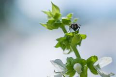 basil (wasp7ty) Tags: flower fly basil ocimumbasilicum