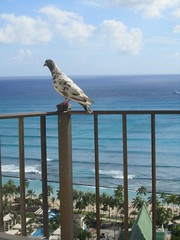 IMG_2938 (dennis_p) Tags: honolulu hawaii hiltonwaikikibeach waikikibeach waikiki