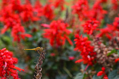 Old is Gold (Zahid - At sea - Thanks for the views ,Favs and co) Tags: plant tree flower insect red vibrant dried old golden out bokeh depthoffield foliage dragonfly wings details salute