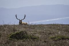 Resting Bull (lennycarl08) Tags: tuleelk elk animalplanet pointreyesnationalseashore pointreyes northerncalifornia california marincounty