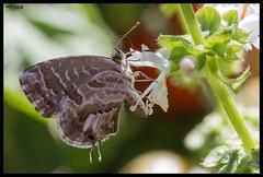 ravitaillement / refueling (MathBIB) Tags: refueling ravitaillement papillon butterfly basilic fleur flower vert green basil canon eos 70d 60mm macro jardin garden
