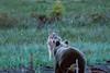 face to face (barragan1941) Tags: fauna finlandia lobo mamiferos osos plantigrados bear wolf