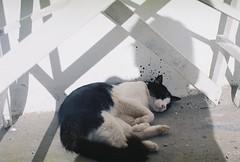 Fluffy dreams (pytorsavnt) Tags: cat olympusom1 film 35mm kodacolor analog