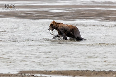 Catch of the Day (R.N.S.) Tags: bear brownbear grizzly coastal lakeclark nationalpark canon 70200 nature fish meal action dinner eating cubs animals ak beach water family cute baby mother brother sister majestic sky brown catch food bright outdoor animal wildlife planet animalplanet