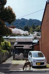 I should've taken more photos of the deers (tiagoalexandresilva) Tags: asia honshu japan sonya6000 hiroshima miyajima itsukushima