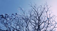 (victorcamilo) Tags: ip ipe victorcamilo victorcamio flickr nature natureza colors cores brasil brazil goias mundo lugar lugaresdobrasil lugaresdomundo ngc blue azul rvore tree photoshop photojournalism galhos flor flower degrad flora canon canonlens fotojornalismo nationalgeographic