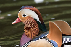 Mandarin (Shane Jones) Tags: mandarin mandarinduck duck waterfowl bird colours wildlife nikon d500 200400vr tc14eii