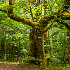 Tree in the Forest (Neil M Photography) Tags: forest tree unusual leaves summer green moss nature bc canada british columbia deciduous trunk bark browns orange square d810 2470mm